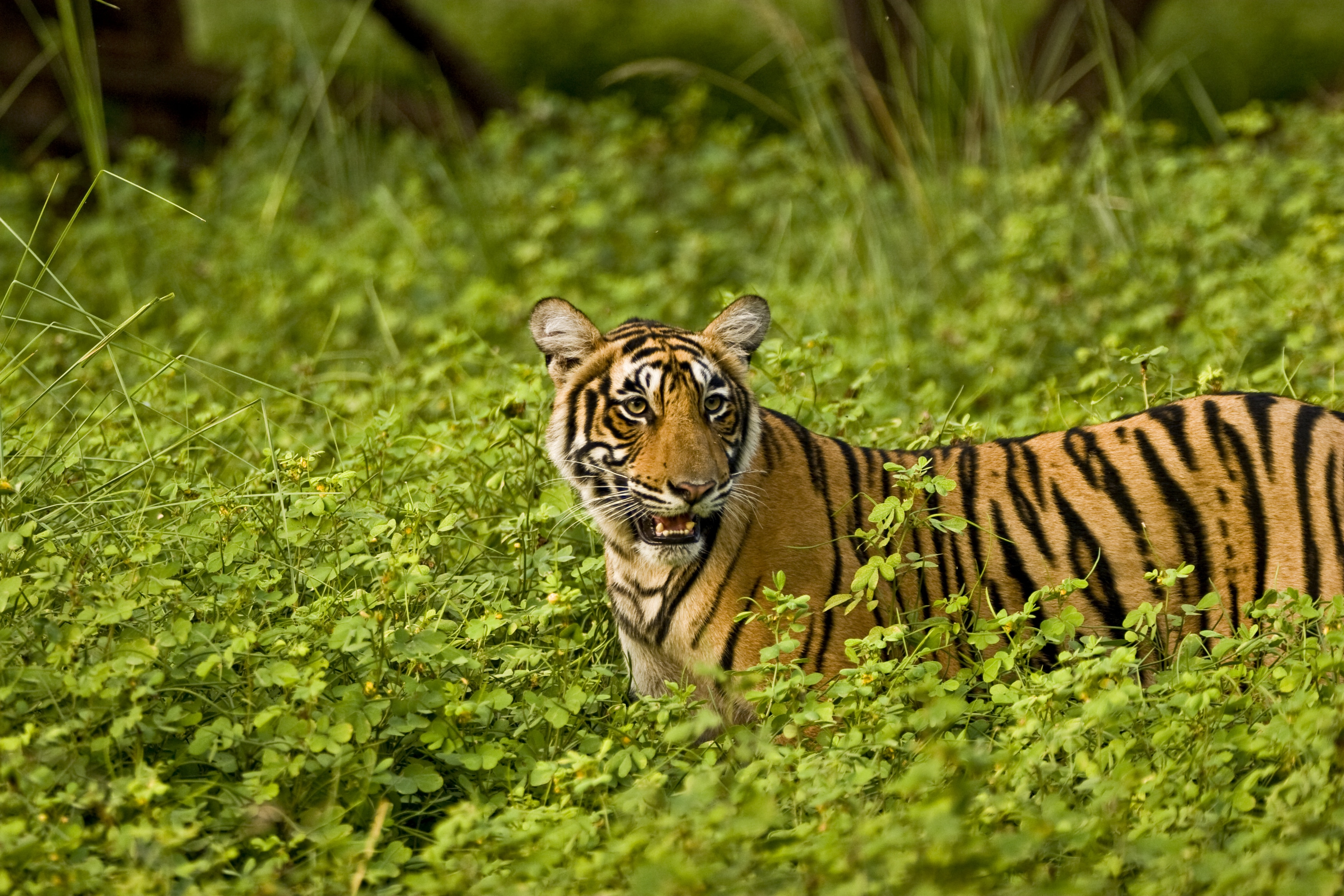 Forts and Tigers
